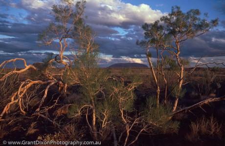 Uluru and Desert oaks