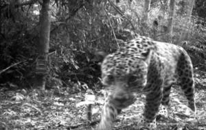 maya_jaguar